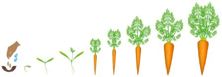 Stages of growth of carrot on a white background.