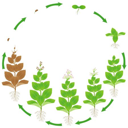Life cycle of a tobacco plant on a white background.