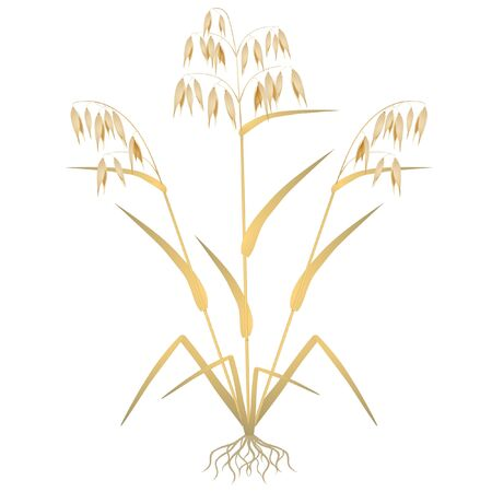 Oat plant with roots on a white background.