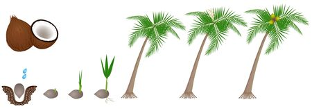 Cycle of growth of a plant of a coconut isolated on a white background.