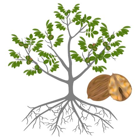 Tree of a walnut with roots and ripe fruits on a white background.