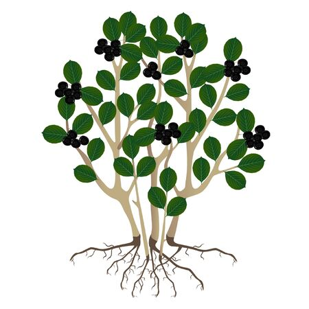 A bush black chokeberry (Aronia melanocarpa) and roots on a white background.