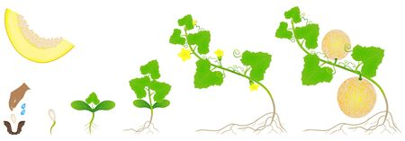 Cycle of growth of a plant of a yellow melon isolated on a white background. Ilustração