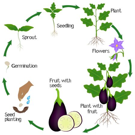Cycle of a eggplant plant growth isolated on white background.