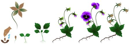 Cycle of pansies plant growth, isolated on white background.