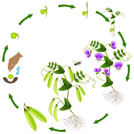 The life cycle of a pea plant is isolated on a white background. Vektorgrafik