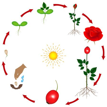 The life cycle of a rose plant on a white background.