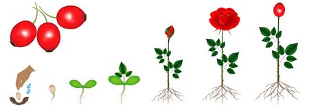 Cycle of rose plant growth, isolated on white background.