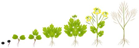 Cycle of growth of a plant of a canola isolated on a white background. Ilustração