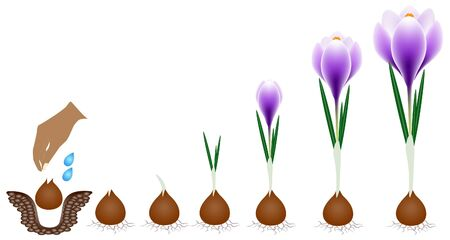 Cycle of growth of a crocus plant isolated on a white background. Vetores