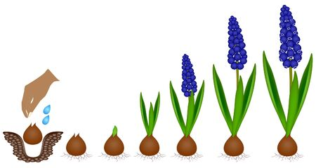 Cycle of growth of a muscari plant isolated on a white background.