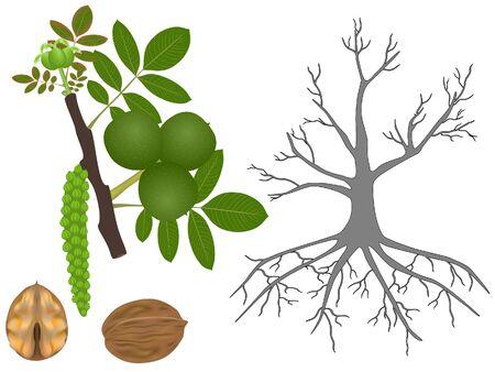 Part of a walnut plant on a white background. Ilustração