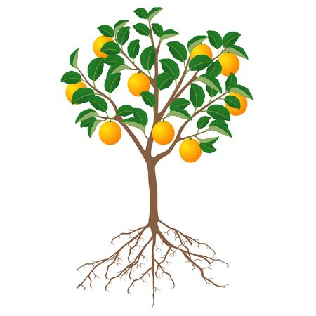 A tree of an orange with fruits and roots on a white background.