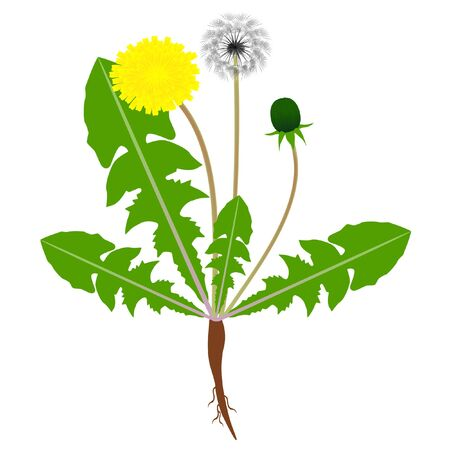 A dandelion plant with roots isolated on a white background.