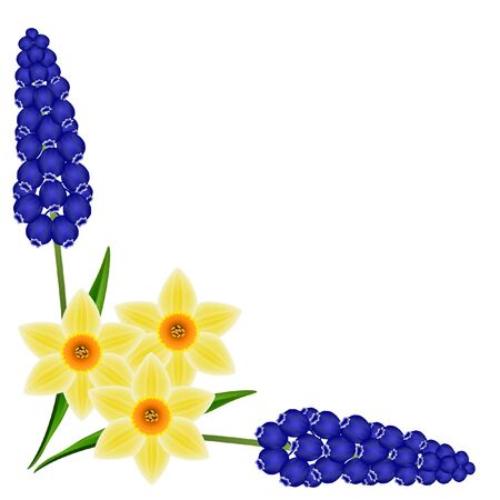 Corner with hyacinths of muscarinic blue grapes and daffodil on a white background.