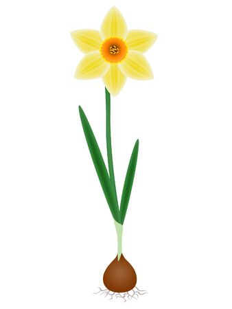 A plant a daffodil on a white background.