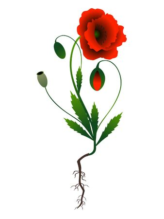 Poppy plant on a white background. 向量圖像