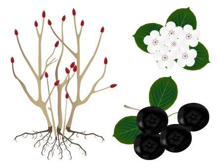 Part of the black chokeberry (Aronia melanocarpa) plants, isolated on white.