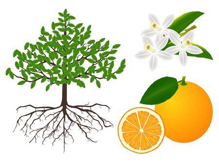 Parts of the plant are orange.
