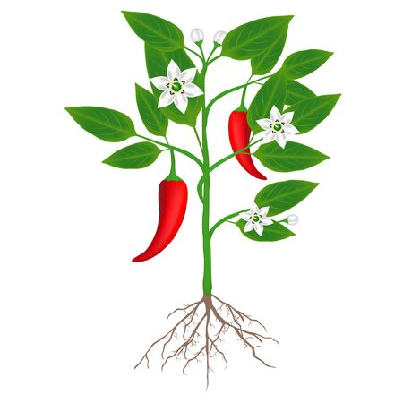 A plant of chili peppers on a white background. 일러스트