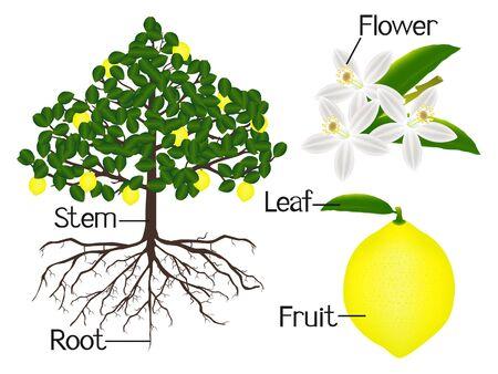 The illustration shows part of the lemon plants.