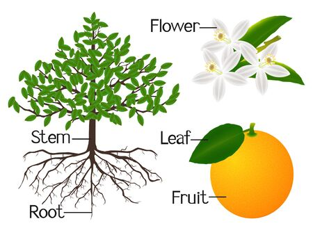 The illustration shows part of the orange plants. 向量圖像