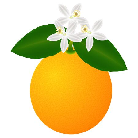 Orange fruit with leaves and blossom, isolated on white background.