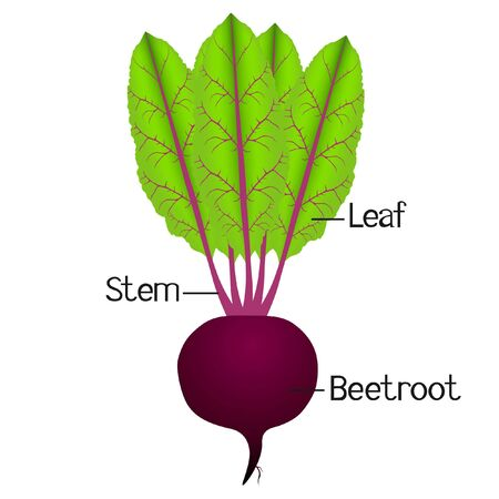 The illustration shows part of the beetroot plant.