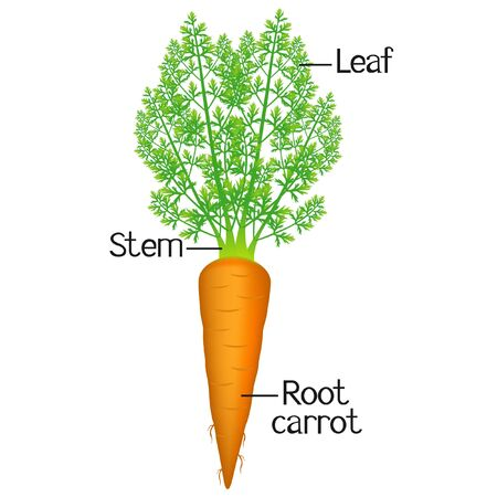 The illustration shows part of the carrot plant.