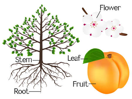 The illustration shows part of the apricot plants. Ilustrace