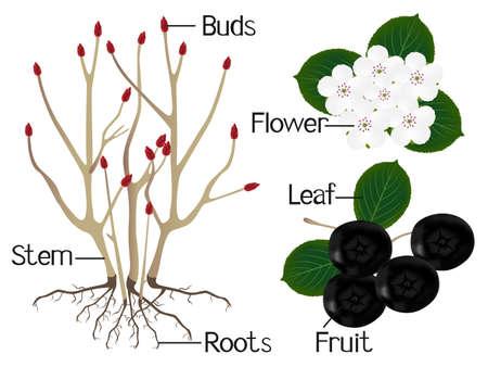 The illustration shows part of the black chokeberry (Aronia melanocarpa) plants.