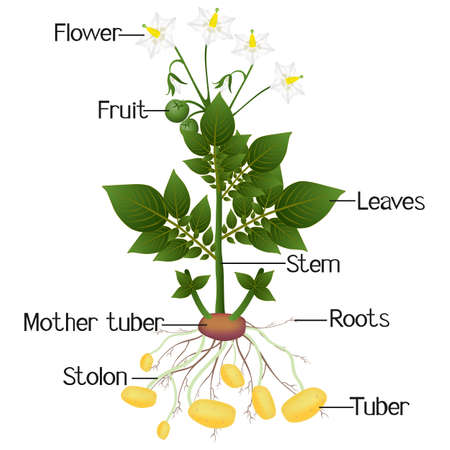 Structure of the potato plant on a white background. Ilustración de vector