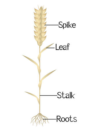 The illustration shows parts of the wheat plant.