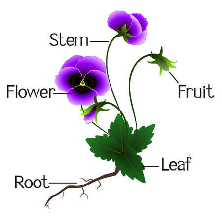Structure of the violets flowers.