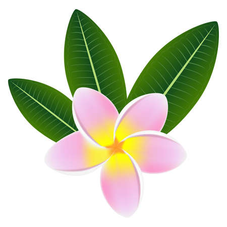 Pink plumeria frangipani flower with green leaves.