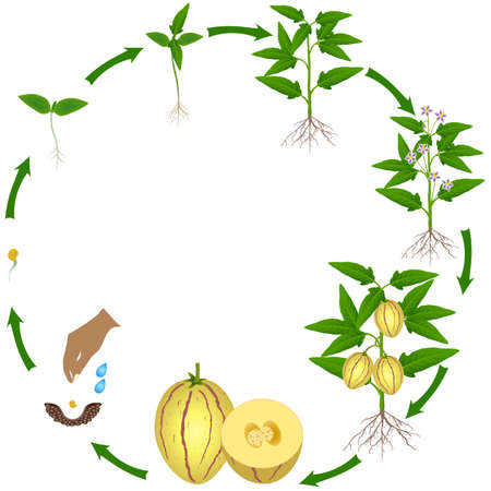 Life cycle of pepino melon plant on a white background.