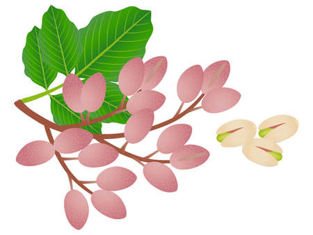 Ripe pistachios with leaves isolated on a white background.