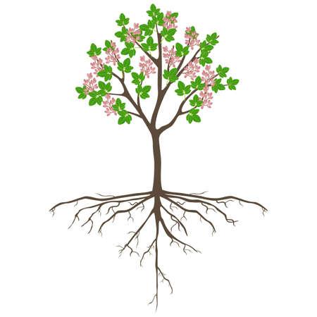 Pistachio tree with fruits on a white background. Ilustração Vetorial