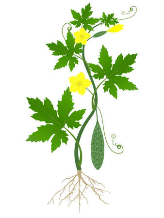 Momordica charantia plant with roots on a white background.