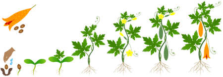 Cycle of growth of momordica charantia bitter melon plant on a white background.
