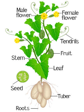 Parts of melothria scabra aka cucamelon or mouse melon plant on a white background.