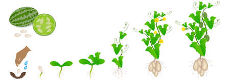 Cycle of growth of melothria scabra aka cucamelon or mouse melon plant.