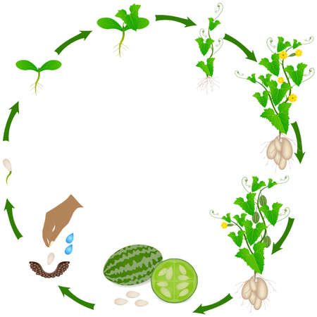 Life cycle of melothria scabra aka cucamelon or mouse melon plant on a white background.
