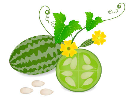 Melothria scabra aka cucamelon or mouse melon whole fruit with half and flower. Vettoriali