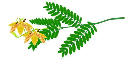 Tamarind flowers on a branch with leaves isolated on a white background.
