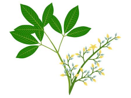 Rubber flowers Hevea brasiliensis and green leaves on white background. Ilustração