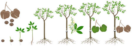 Cycle of growth of rubber tree Hevea brasiliensis plant on a white background.