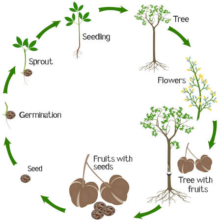 A growth cycle of rubber tree Hevea brasiliensis plant on a white background. Ilustração