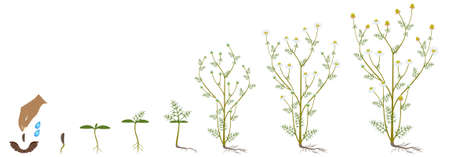 Cycle of growth of medicinal chamomile plant on a white background.