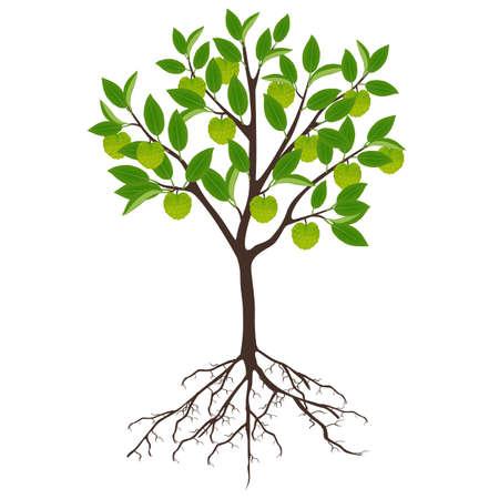 Cherimoya Annona cherimola tree with roots on a white background. Ilustración de vector